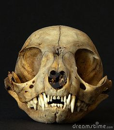 Photo about Skull of a Marsupial Lion in the Victoria Fossil Cave (Australia). Image of carnifex, thylacoleo, fossils - 17934833 The Bone Collector, Skull Anatomy, Illustration Techniques, Skull Head, Animal Heads, Animal Skulls, Buy Posters, Skull And Bones, Art Studies
