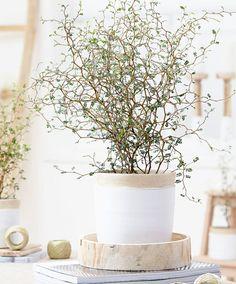 Maori Sophora Plant