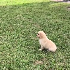 golden retriever puppy playing funny video cute golden retriever puppy with sweet girl Cute Animals Images, Cute Little Animals, Animals For Kids, Funny Animals, Cute Labrador Puppies, Cute Dogs And Puppies, Funny Animal Videos, Dog Videos, Really Cute Puppies