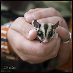 Southern Flying Squirrel Pet Make Good to Keep