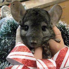 Eight-year old Scooter and his brother Smokey came into our care last month as their guardian wasn't able to give them the time required to be cared for. Now they are looking for their second chance and a forever home who has knowledge about chinchillas. Social, friendly and affectionate – these guys make excellent pets!