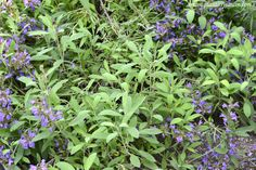 Salvia officinalis, Salvia común #Mediterráneo