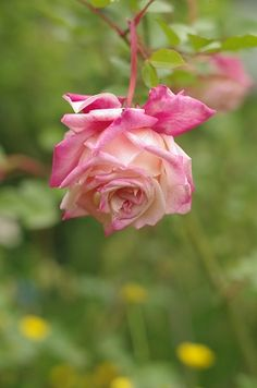 Tea Rose: Rosa 'Maman Cochet' (France, 1892)