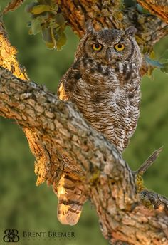 """""""Great Horned Owl"""" by Brent Bremer"""