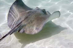 Meet The Rays- Types of Stingrays, Eagle Rays and Manta Rays