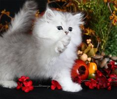 "Silver Persian Kitten, called ""rug huggers."" They are like mini-kittens, or the doxies of the kitten world. I know it's wrong to spend $ on breeders, but this guys is just to DIE FOR!"