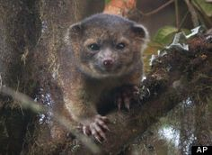 """An Olinguito...Smithsonian Researchers announced Thursday a rare discovery of a new species of mammals call the olinguito. It is about 14"""" long with an equally long tail and weighs about 2 pounds. It is  the smallest member of the raccoon family of mammals."""