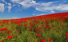 field-of-poppies-1519-2560x1600.jpg (2560×1600)