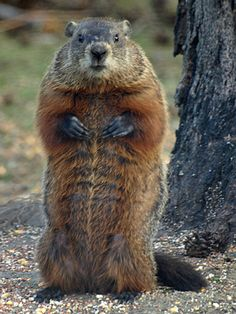"""My own strategic retreat/ Is where two rocks almost meet,/ And still more secure and snug,/ A two-door burrow I dug./ With those in mind at my back/ I can sit forth exposed to attack,/ As one who shrewdly pretends/ That he and the world are friends...  from """"A Drumlin Woodchuck"""", Robert Frost"""