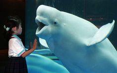 Beluga whales...one of my favorite animals < 3