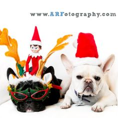 Christmas Frenchies with the Elf on the Shelf