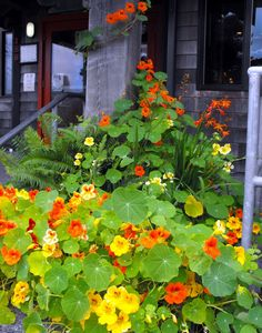 Cannon Beach nastursiums. Maybe for inside of my grap arbor.