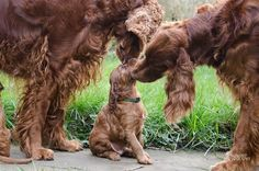 Irish Setters. Laura Kolbach. Remember when aunties squeezed cheeks :)