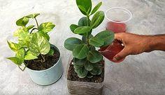Amióta így öntözöm a virágaim, minden szomszédom irigykedve lép be a házamba! Hydroponic Growing, Growing Plants, Hydroponics, My Secret Garden, Garden Gates, Planting Seeds, Diet And Nutrition, Home Remedies, Indoor Plants