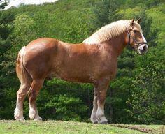 belgian horse - Google Search