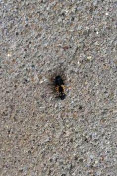 Order Coleoptera (Beetles) Family Coccinellidae (Ladybird beetles)