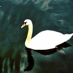 Swan @hvaler