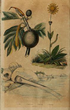 Dictionnaire Pittoresque d'Histoire Naturelle et des Phénomènes de la Nature, Vol. I, 1833-1840.