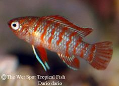 """Dario dario """"Scarlet Badis"""" - getting three of these little ones for my new tank =)"""