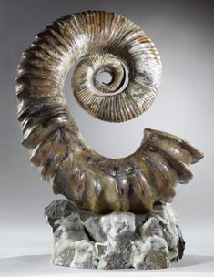 Heteromorph Audoliceras Ammonite | Flickr - Photo Sharing!