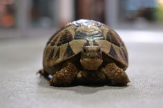 Good morning from this Subadult Greek Tortoise!