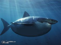 The great white shark came into existence during the mid-Miocene epoch. The earliest known fossils of the great white shark are about 16 million years old. However, the phylogeny of the great white is still in dispute. All About Sharks, Save The Sharks, Cool Sharks, The Great White, Great White Shark, Shark Week, Shark Fin, Big Shark, Shark Swimming