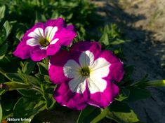 Growing Petunias | How to grow and care of Petunia plant -