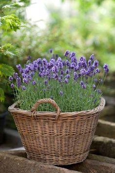 Basket of lavender flowers   GardenersPath.com