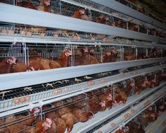 How to start a profitable poultry egg farming business and the poultry egg production business plan (PDF, Word and Excel). Poultry Cage, Poultry House, Chicken Cages, Chicken Feeders, Farm Chicken, Business Plan Pdf, Business Planning, Automatic Chicken Feeder, Poultry Business