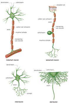 Natuurinformatie - Het zenuwstelsel, een fijnmazig netwerk voor informatieoverdracht