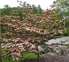 Pink dogwood (Cornus kousa 'Satomi')