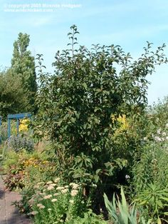 1000 images about plants for consideration on pinterest shrubs rose of sharon and rose of. Black Bedroom Furniture Sets. Home Design Ideas