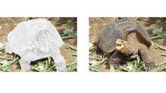 Galapagos Tortoise coloring page Zoo Animal Coloring Pages, Zoo Animals, Tortoise, Colored Pencils, Dinosaur Stuffed Animal, Art, Tortoise Turtle, Colouring Pencils, Art Background