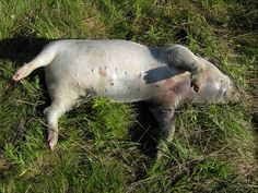 Example of a pig carcass in the bloat stage of decomposition (Hbreton19 at Wikimedia)