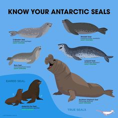 Know Your Antarctic Seals design by Peppermint Narwhal. / There are six Antarctic seals, five of which are true seals and one of the eared seal, variety. Now You Know Your Antarctic Seals! Animals Of The World, Animals And Pets, Cute Animals, Fun Facts About Animals, Animal Facts, Animals Information, Elephant Seal, Animal Posters, Marine Biology