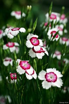 RoseWater Dream — Dianthus Deltoides by George—Kirk