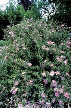 SEMPREVERDE 100x100 Cystus fiori PRIMAVERA ESTATE