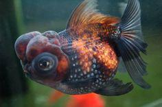 Telescope (Goldfish)