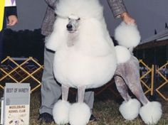 Judging the Standard Poodle-what should you look for?