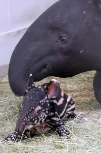 Not only is it a baby tapir, it's a baby tapir saved by mouth-to-mouth resuscitation from a zookeeper. OW.