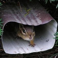 #Chipmunks invading your home?