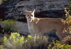 A Utah Cougar / Mountain Lion