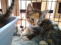 Zinnea is an adoptable Calico Cat in Spring City, PA. D.O.B: 4/3/13:  Zinnea is an absolutely adorable, Tabbico (calico/tabby mix) kitten. She was rescued along with her sister, Magnolia (also posted)...