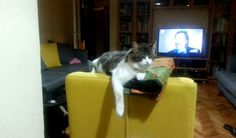 Şapşik sakin bir kedidir