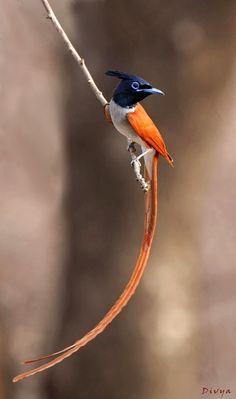 paradise flycatcher        (photo)   birds of a feather