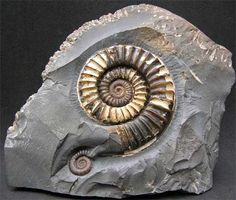 UK fossils including British ammonites - Fossils Direct