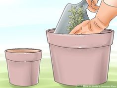 How to Divide a Lavender Plant. Many species of lavender are perennial plants, meaning they live for two or more years. These plants grow larger each spring and summer, and may eventually outgrow your garden. However, lavender is fragile. How To Propagate Lavender, Perennials, Divider, Mugs, Tableware, Plants, Garden, Easy, Pictures