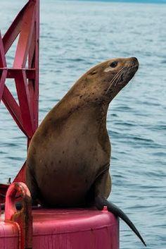 Sea Lion off Sitka, AK - July 2012