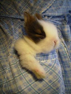 Little pocket rabbit