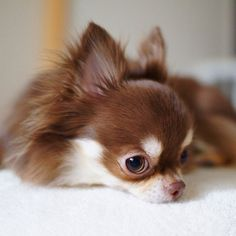 Effective Potty Training Chihuahua Consistency Is Key Ideas. Brilliant Potty Training Chihuahua Consistency Is Key Ideas. Chihuahua Puppies, Chihuahua Love, Cute Puppies, Cute Dogs, Dogs And Puppies, Baby Dogs, Long Hair Chihuahua, Doggies, Little Dogs